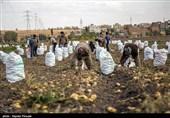 برداشت سیبزمینی در استان کرمانشاه سبب کاهش قیمت در کشور میشود