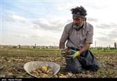 50 هزار تن سیبزمینی کشاورزان کردستانی روی زمین مانده است