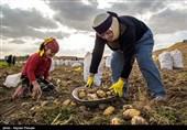 یک نماینده: جهاد کشاورزی آلودگی سیبزمینیهای کرمانشاه را تایید نکرد