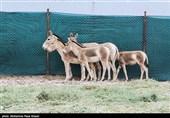 اجرای موفق فاز نخست تکثیر گورخر ایرانی در پارک ملی کویر؛ آینده گورها روشن است