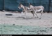 سمنان| دلیل مهم انتقال گورخرهای آسیایی به پارک ملی کویر