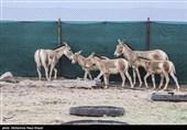 انتقال موفق 4 رأس گورخر آسیایی به پارک ملی کویر؛ گورخرهای «یزدی» هم آمدند