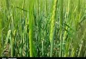 قزوین  صیانت از منابع آبی و خاکی لازمه تولید محصولات کشاورزی است