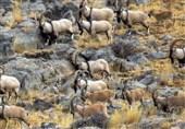 فصل پاییز بیشترین شکار را در استان کرمان داریم/با شکارکشها مواجه هستیم