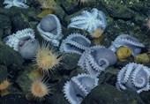 کشف بزرگترین باغ اختاپوس در عمق اقیانوس