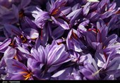 Iran Exports 105 Tons of Saffron to 47 Countries in 6 Months