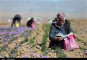 کرمان| بین 800 تا 1000 کیلوگرم زعفران در زرند برداشت میشود