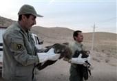 5 عقاب از مسمومیت مرغهای سروستان جان سالم به در بردند