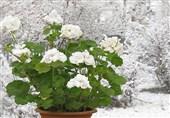 موارد کلیدی در مصرف گیاهان دارویی برای شدیدترین سرماخوردگیها/نکات سلامتی فصول سرما