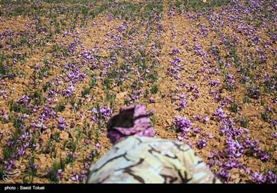 برداشت زعفران- خراسان شمالی