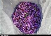 بیش از 400 کیلوگرم زعفران از مزارع خرمآباد برداشت میشود