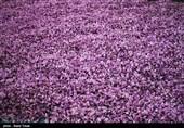 بیش از 53 کیلوگرم زعفران از مزارع سیستان و بلوچستان برداشت میشود
