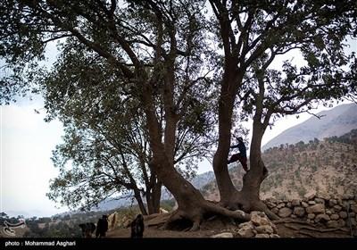 روستای پزعلیا-بخش ذلقی غربی - شهرستان الیگودرز-استان لرستان- رحیم حسنی 7 ساله کلاس اول میرود و او دوست دارد هر کاری که برادرش انجام میدهد او نیز انجام دهد.رحیم در حال بالا رفتن از درخت بزرگ جلوی خانه است.