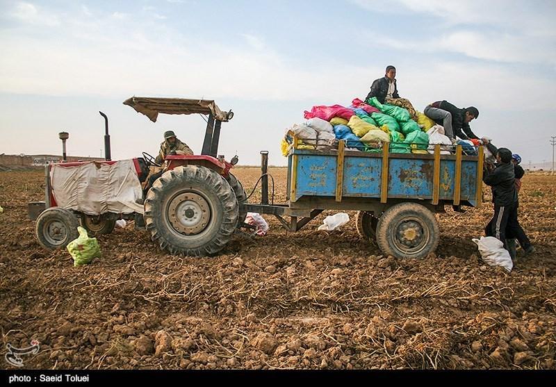 سیبزمینی تازه در راه بازار/کشاورز سیب زمینی را 3800 میفروشد!