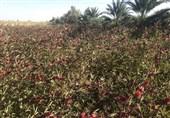 25 هکتار چای ترش در مزارع میرجاوه کاشت شد