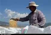 برداشت برنج از شالیزارهای خراسان شمالی در سایه «ممنوعیت کِشت»+تصاویر