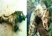خراسانرضوی|جزئیات سوزاندن 3 کفتار در شهرستان فیروزه نیشابور