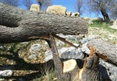 تیشه به ریشه بلوطستان؛ ماجرای قطع درختان بلوط در دورود چه بود؟+تصاویر