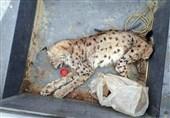 کشف لاشه یک لینکس (وَشَق) در اصفهان