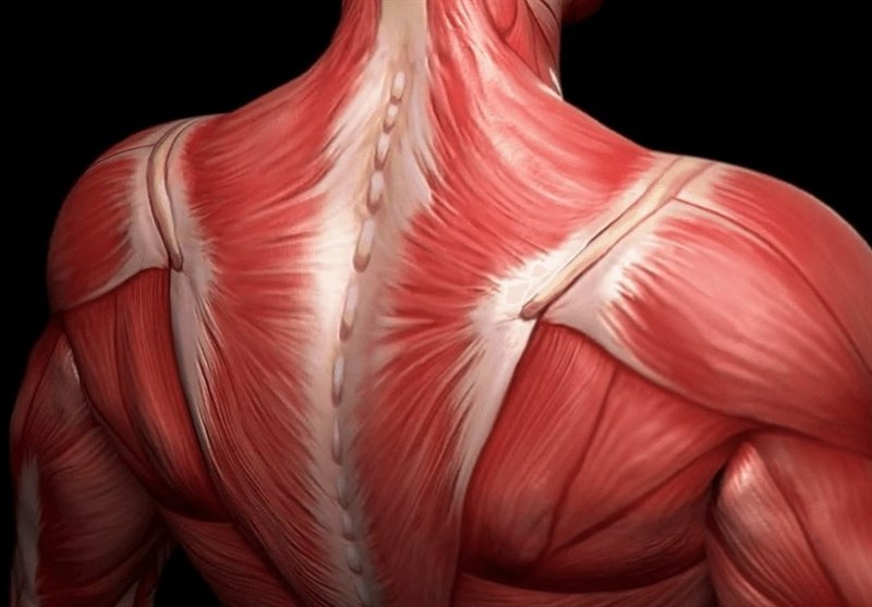 Researchers Discovered Proteins Essential to Development of Skeletal Muscle