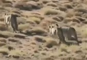 Cheetah Caught Stealing Wildlife Park Ranger's Shoe in Iran's Semnan (+Video)