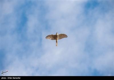 پرنده قرقی