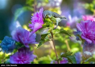 پرنده شهدخوار ماده