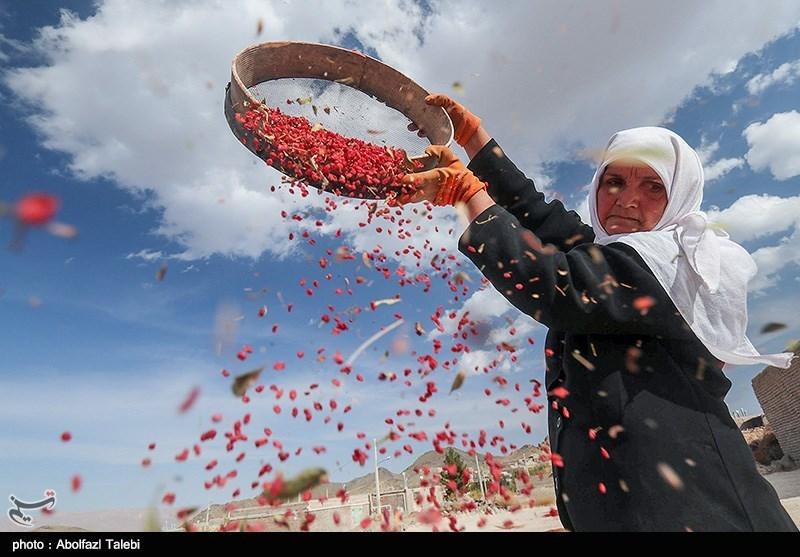 دسترنج بیحاصل زرشککاران در خراسان جنوبی / دستدرازی دلالان به زحمت کشاورزان+تصاویر