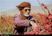 بیشترین حجم زرشک ایران خامفروشی میشود
