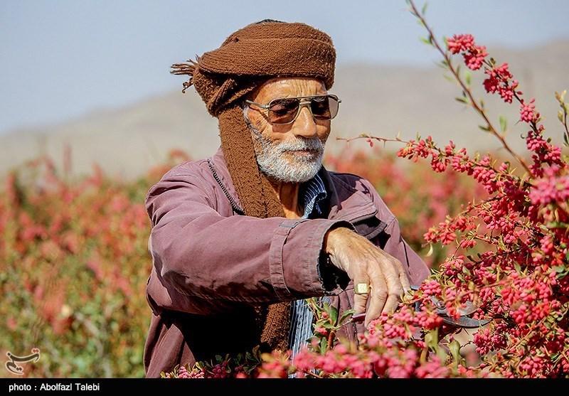 خراسان جنوبی| زرشک 10 هزار تومانی هزینه تولید را هم تامین نمیکند