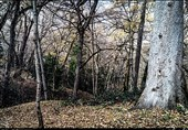 پدیده شوم خشکسالی بر سر منطقه زاگرس; جنگل «هلن» چهارمحال و بختیاری مقاوم در برابر خشکسالی