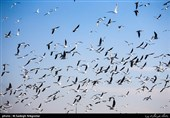 هیچ موردی از بیماریزایی پرندگان مهاجر در استان سمنان گزارش نشد