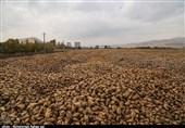 ادامه کشت بی رویه چغندرقند حل بحران دریاچه ارومیه را مختل کرد