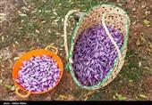 600 کیلوگرم زعفران از مزارع کاشان برداشت میشود