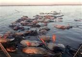 تلاش برای قانونی کردن کشتار خونین پرندگان به وسیله محمیه