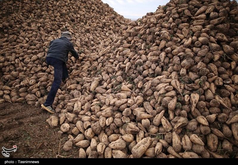 5 میلیون تن چغندر قند امسال تولید میشود