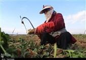 100 هزار هکتار از اراضی کشور زیر کشت چغندر میروند
