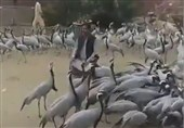 Eurasian Cranes Welcomed by People in Iran's Southeastern Province (+Video)