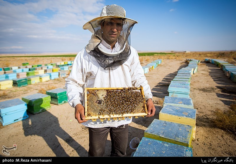 حسین فرهادی از سال 72 کار زنبورداری را با یک کندو آغاز و اکنون حدود یک هزار کندو دارد