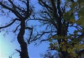 سوزاندن درختان جنگل برای چرای دام