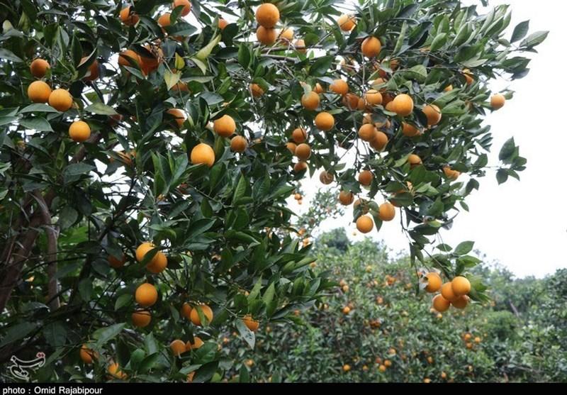 99 درصد باغات پرتقال تامسون مازندران عاری از مگس میوه است
