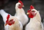 کشف 1.5 تن مرغ زنده در بار گچ