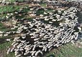 52 میلیون راس گوسفند و بُز در کشور داریم