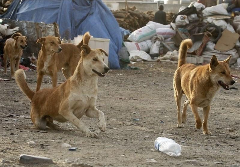 آزمایش ۷۰ سگ ولگرد در تهران پس از گزارش هاری و گازگرفتگی,