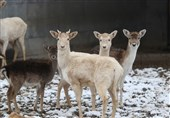 برف و سرمای زمستان در باغ وحش قیصری ترکیه + عکس
