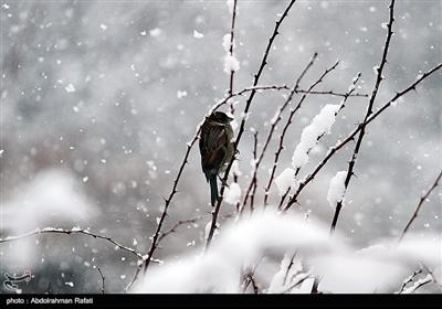 تساقط الثلوج فی همدان