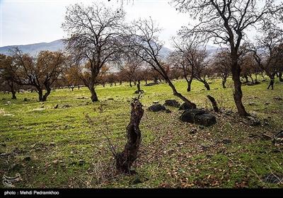 حال ناخوش درختان بلوط جنگلهای زاگرس در اندیکا
