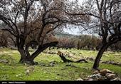 60 هزار هکتار جنگلکاری در استان ایلام انجام شده است