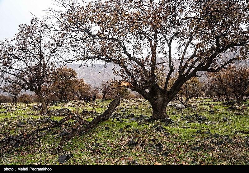نابودی درختان زاگرس در سایه بیتوجهی محیط زیست + فیلم