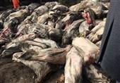 بار گوشت هواپیمای سقوط کرده در زیبادشت البرز امحا میشود